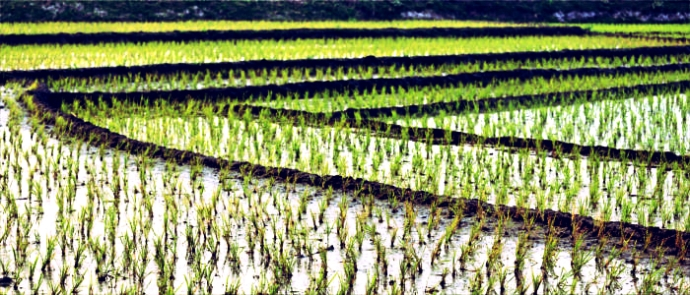 Flooding for Rice Fields